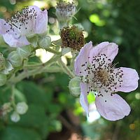 close-up of bramble flower and budding blackberry